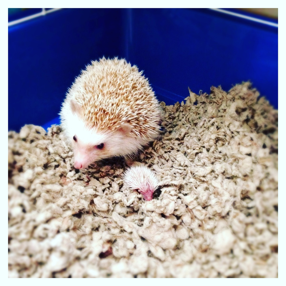 Hedgehog Breeding 101: The Basics – Hanzo & Friends ...